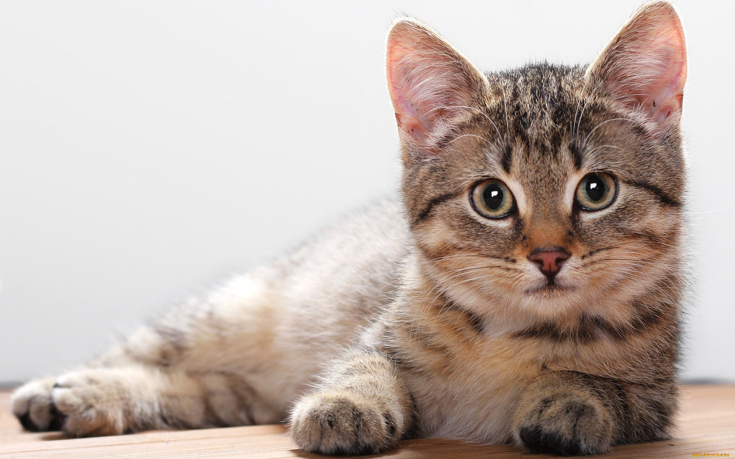 Картинки на рабочий стол домашние животные кошки фото, тревога
